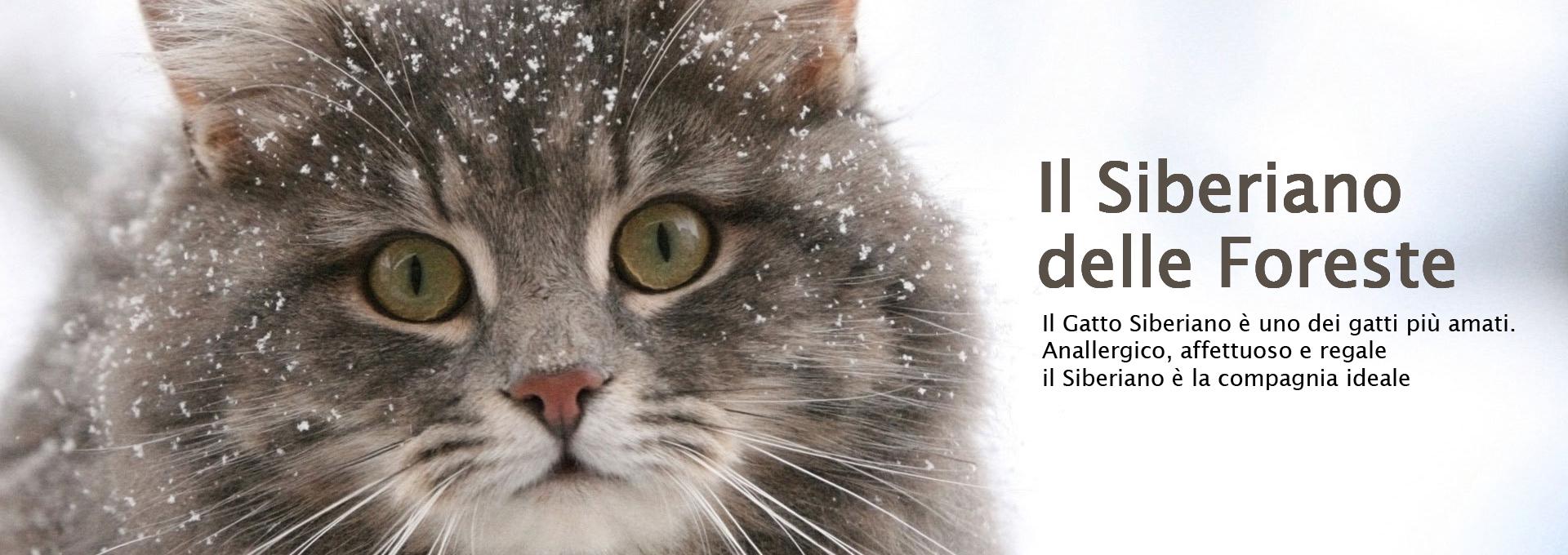 Il Gatto Siberiano Tutto Ciò Che Ti Serve Sapere Sul Siberiano